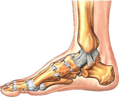 Medial foot